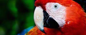 scarlet-macaw_0